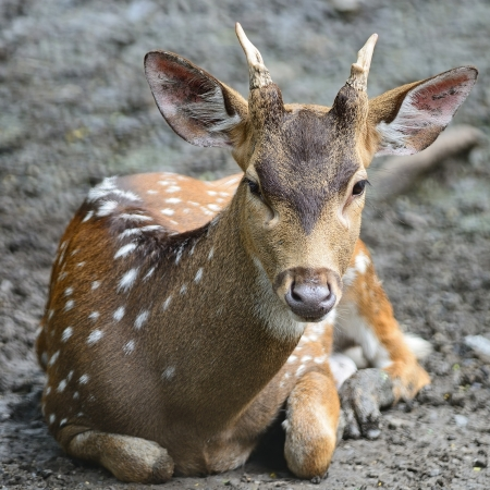 axis deer: Juvenile male Spotted deer or Axis deer (Cervus axis)