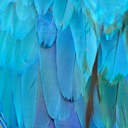 Blue and Gold Macaw feathers, colorful background texture photo