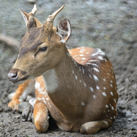 axis deer: Juvenile male Spotted deer or Axis deer (Cervus axis)  Stock Photo