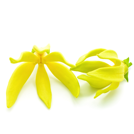 Yellow fragrant flower, Ylang-Ylang flower (Cananga odroata), isolated on a white background