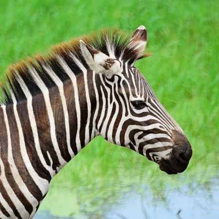 burchell: Face of Common Zebra or Burchell