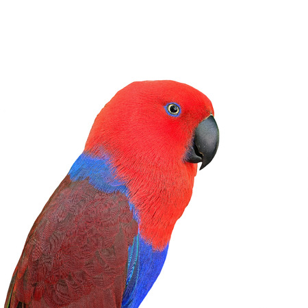 eclectus roratus: Colorful red parrot, a female Eclectus parrot  Eclectus roratus , face profile, isolated on a white background