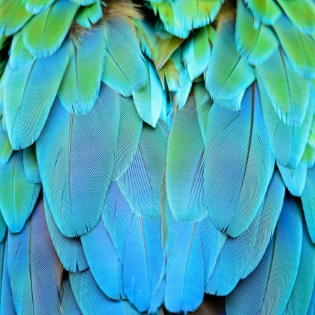 Colorful feathers, Harlequin Macaw feathers background texture Stock Photo