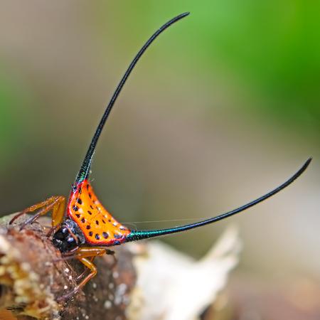 arcuata: Amazing spider, Gasteracantha arcuata in nature background Stock Photo