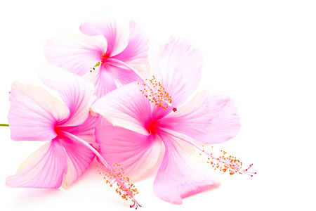Beautiful pink Hibiscus flower, isolated on a white background