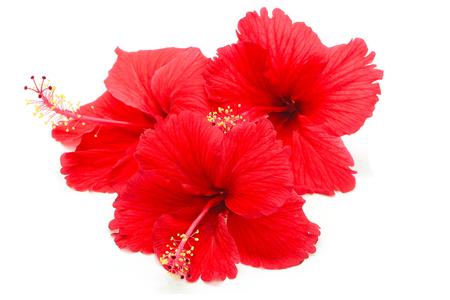 흰색 배경에 고립 된 아름 다운 빨간 히비스커스 꽃,