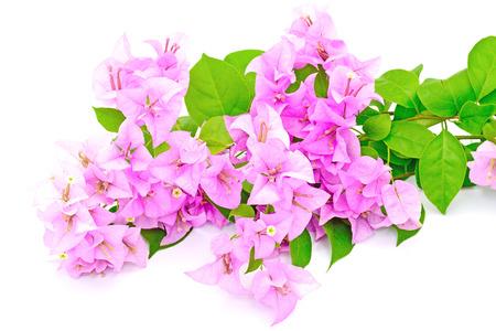 열대 부겐빌레아 꽃, 흰색 배경에 고립 스톡 사진