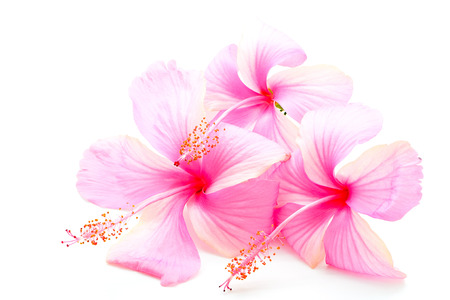 Beautiful pink Hibiscus flower, isolated on a white background photo