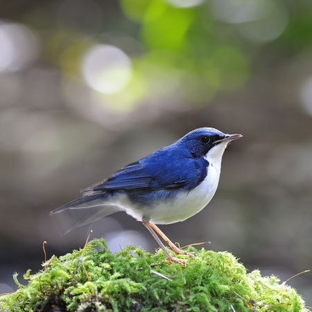 ground cover: Little blue bird, male Siberian Blue Robin (Luscinia cyane), standing on the moss ground cover