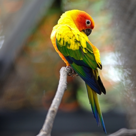 Colorful yellow parrot, Sun Conure (Aratinga solstitialis), standing on the branch, back profile