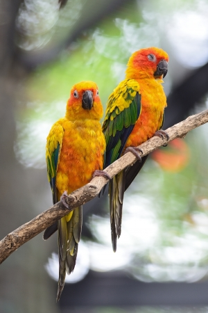 Colorful of two yellow parrots, Sun Conure (Aratinga solstitialis), standing on the branch, breast profile photo