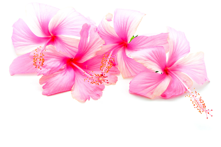 Colorful pink Hibiscus flower, isolated on a white background photo