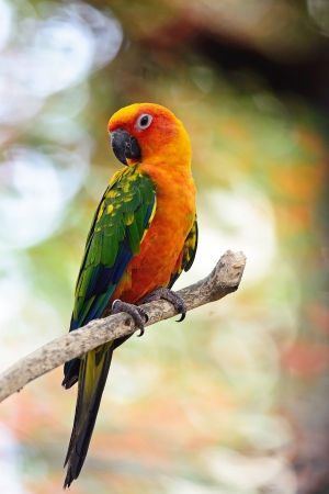 Colorful yellow parrot, Sun Conure (Aratinga solstitialis), standing on the branch, breast profile photo