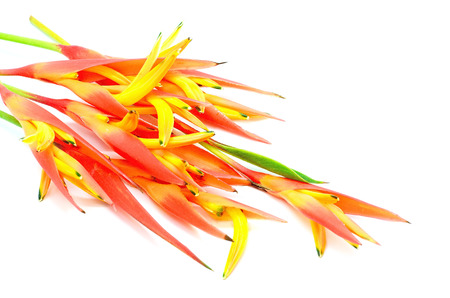 heliconia: Tropical orange Heliconia flower, isolated on a white background Stock Photo