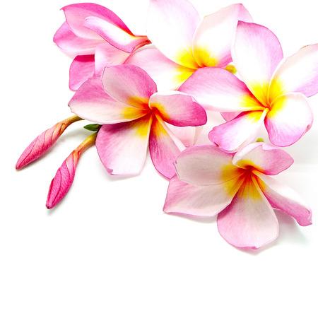 흰색 배경에 열 대 핑크 프르 또는 Fangipani 꽃, 고립 된