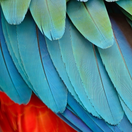 Colorful feathers, Harlequin Macaw feathers background texture 版權商用圖片