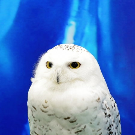 Snowy Owl (Bubo scandiacus), face profile photo