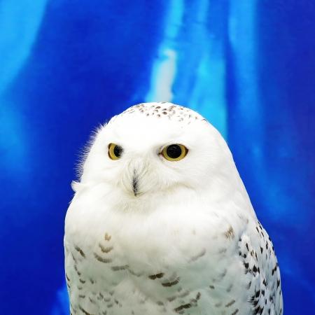 Snowy Owl (Bubo scandiacus), face profile 版權商用圖片