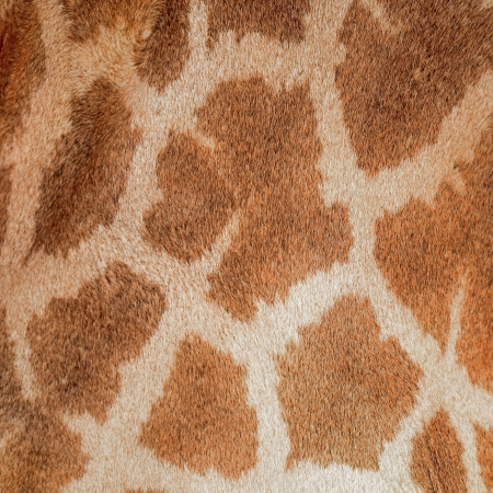 giraffa: Genuine leather skin of Giraffe (Giraffa camelopardalis) Stock Photo