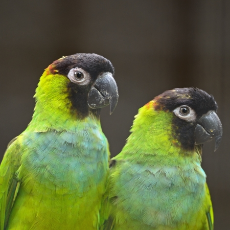 Beautiful Nanday Conure parrot (Aratinga nenday), face and breast profile photo