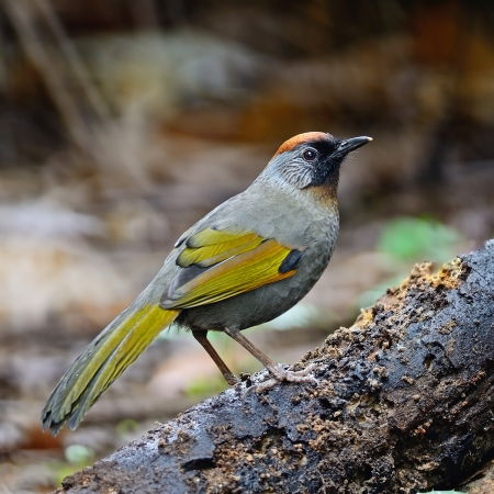 silver eared: Silver-eared Laughingthrush (Trochalopteron melanostigma), standing on the log
