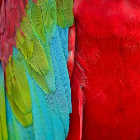 Beautiful Greenwinged Macaw feathers photo