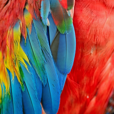Scarlet Macaw feathers colorful texture  版權商用圖片