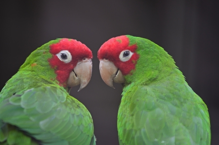 Colorful Red Masked Conure or Cherry-headed Conure (Aratinga erythrogenys), face profile