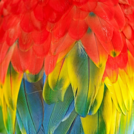 Scarlet Macaw feathers, colorful background texture  Stock Photo