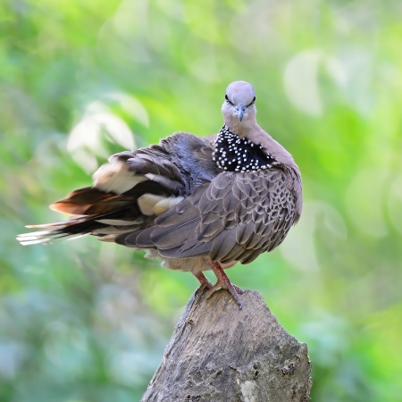 Spotted Dove (Streptopelia chinensis), perching on the log, face profile photo