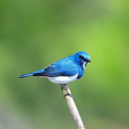 ultramarine: Colorful blue and white bird, male Ultramarine Flycatcher (Ficedula superciliaris) , perching on a branch, back profile Stock Photo