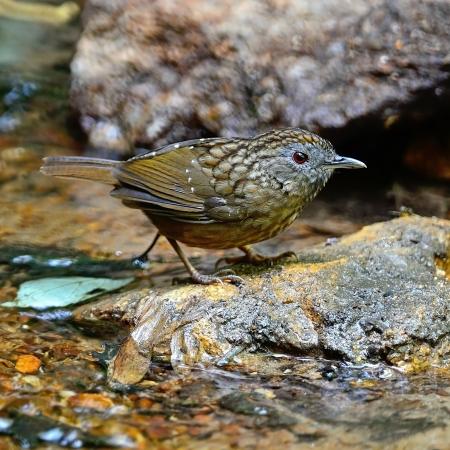 streaked: Brown Babbler bird, Streaked Wren Babbler (Napothera brevicaudata), standing on the rock, side profile