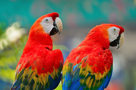 aviary: Couple of colorful Scarlet Macaw aviary, back profile