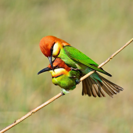 mating colors: Colorful Bee-eater bird, Chestnut-headed Bee-eater  Merops leschenaulti , mating profile Stock Photo