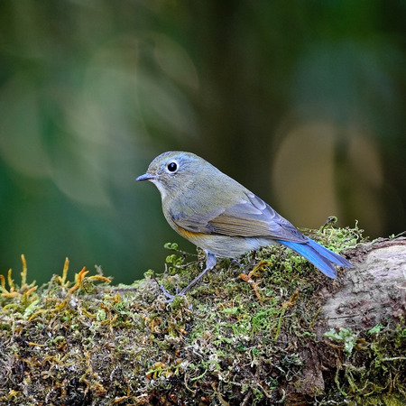 Brown and blue bird, female Red-flanked Bluetail  Tarsiger cyanurus , standing on the log, back profile