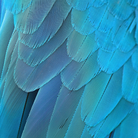 Colorful bird feathers, Blue and Gold Macaw feathers background