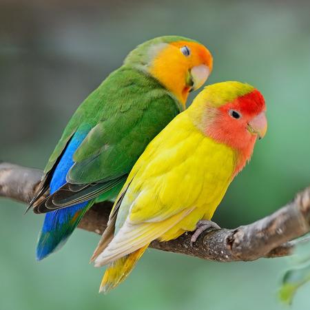 Beautiful bird. Lovebird standing on a branch