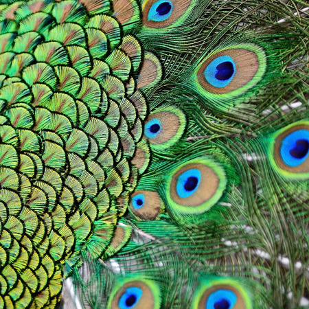 Colorful plumage of male Green Peafowl feathers background photo