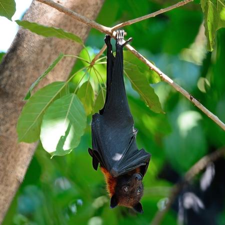 pteropus: Grande Bat, Volante Flying Fox (Pteropus vampyrus) in natura sfondo Archivio Fotografico