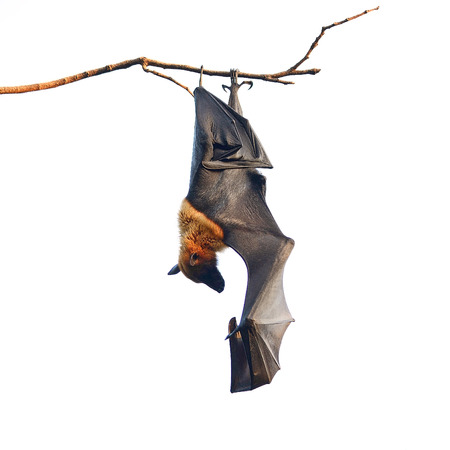 Large Bat, Hanging Flying Fox (Pteropus vampyrus), during the sleeping period in nature background Stock Photo