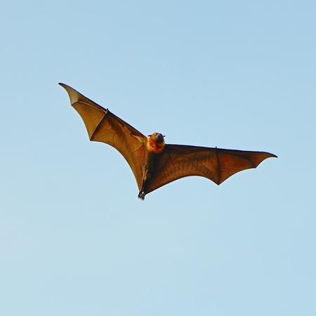 pteropus: Grande Bat, Hanging volpe volante (Pteropus Vampyrus) sullo sfondo del cielo blu