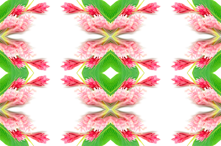 alpinia: Colorful flower, Red Ginger or Ostrich Plume (Alpinia purpurata), in red and pink form Stock Photo