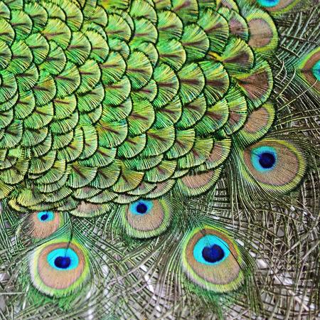 Beau plumage de mâle vert plumes de Peafowl fond Banque d'images - 29563656