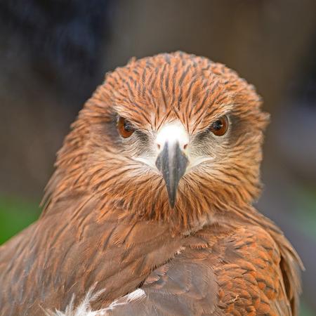 milvus: Brown bird, Black Kite (Milvus migrans), face profile