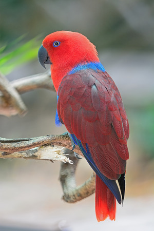 eclectus roratus: Colorful red parrot, a female Eclectus parrot (Eclectus roratus), back profile