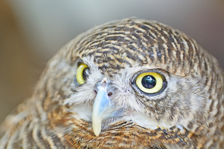 갈색 조류, 아시아 금지 Owlet (Glaucidium의 cuculoides), 얼굴 프로필 스톡 사진
