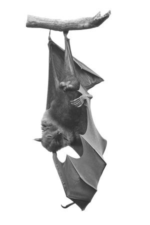 pteropus: Large Bat, Hanging Flying Fox (Pteropus vampyrus) in monochrome