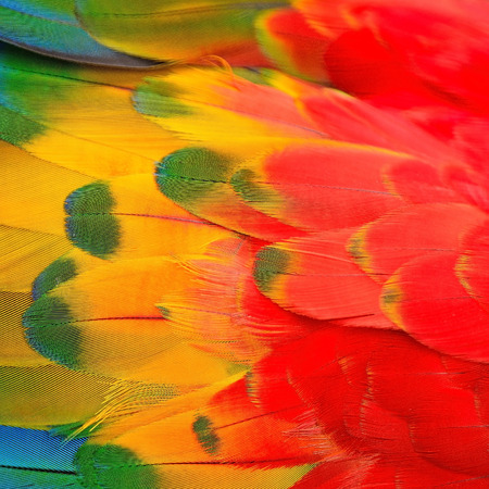 Scarlet Macaw feathers, colorful background texture  photo