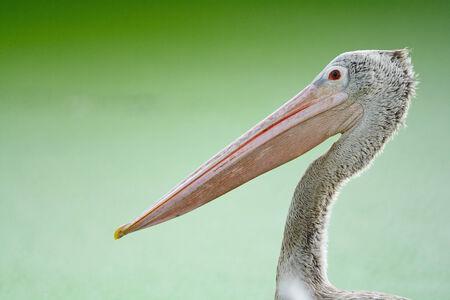 waterbird: Beautiful waterbird, Spot-billed Pelican ( Pelecanus phillippensis), head profile