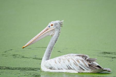waterbird: Beautiful waterbird, Spot-billed Pelican ( Pelecanus phillippensis), side profile